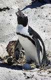 Breeding African Penguins at Boulders Beach, Cape Royalty Free Stock Photo