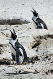 Breeding African Penguins at Boulders Beach, Cape Stock Photos