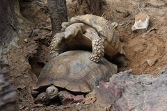 They are breeding. Animals,  African Spurred Tortoise,  They are breeding together,  see them at KAO SUAN KWANG zoo in KHON KAEN province THAILAND royalty free stock images