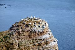 Breeding Birds in the Cliffs of Helgoland Royalty Free Stock Photo