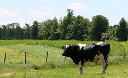 Breeding black and white Holstein bull standing in the field royalty free stock photo