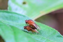 Breeding Blow fly Stock Image