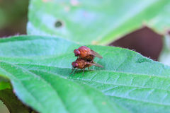 Breeding Blow fly. Close up breeding Blow fly on leaf Stock Photography
