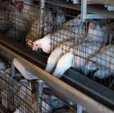 Breeding broiler chickens and chickens, broiler chickens sit behind bars in the hut, poultry house, chuck. Breeding broiler chickens and chickens, broiler stock image