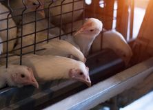 Breeding broiler chickens and chickens, broiler chickens sit behind bars in the hut, poultry house, fowl-run. Breeding broiler chickens and chickens, broiler royalty free stock photography