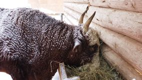 The breeding bull eating hay. From the trough on the farm on a winter day stock video