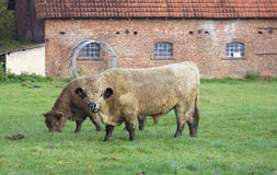 Breeding bull Royalty Free Stock Photography