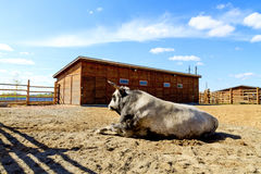 Breeding bull lying in the fence Royalty Free Stock Images