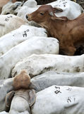 Breeding bulls herded into a corral Stock Photography