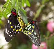 Breeding butterflies Royalty Free Stock Image