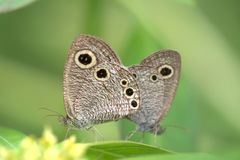 Breeding butterflies Stock Photography