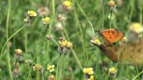 Breeding Butterflies in the Garden. stock video footage