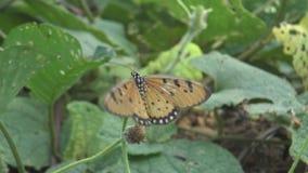 Breeding Butterflies in the Garden. stock footage