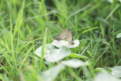 Breeding butterflies Royalty Free Stock Photo