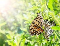 Breeding of butterfly. In garden Stock Photo