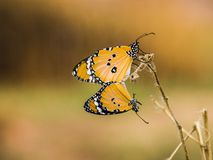 Breeding of butterfly Stock Image