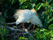 Breeding Cattle Egret Royalty Free Stock Photos