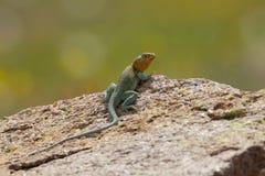 Breeding Colors on Collared Lizard. Eastern Collared Lizard Sitting in territorial rock ledge in breeding season Stock Images