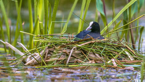 Breeding Common Coot. Fulica atra on nest in pond of public park Royalty Free Stock Images