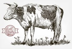 Breeding cow. animal husbandry. livestock. Breeding cow. grazing cattle. animal husbandry. livestock. vector sketch on a grey background stock illustration