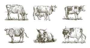 Breeding cow. animal husbandry. livestock. Breeding cow. grazing cattle. animal husbandry. livestock. vector sketch on a white background royalty free illustration