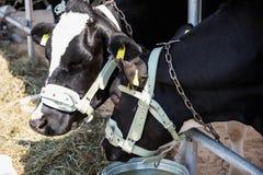 Breeding cows in the barn Stock Photo