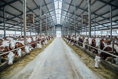Breeding of cows in free livestock stall Royalty Free Stock Photography