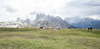 Breeding of cows in the high mountains on the Alps. Breeding of cows in the high mountains. in the background the Alps of Trentino Alto Adige Stock Photo