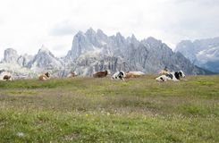 Breeding of cows in the high mountains on the Alps. Breeding of cows in the high mountains. in the background the Alps of Trentino Alto Adige Stock Photos