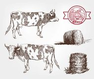Breeding cows Royalty Free Stock Images