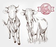 Breeding cows Stock Photos