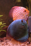 Breeding discus Stock Photography