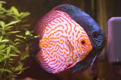 Breeding discus Royalty Free Stock Photo