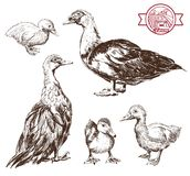 Breeding ducks. Set of vector sketches. Hand drawn illustrations stock illustration