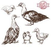 Breeding ducks Stock Images