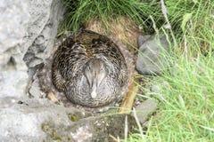 Eider duck breeding Stock Photo