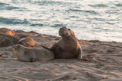 Breeding Elephant Seals on the Beach Stock Photo