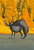 Breeding Elk. A bull elk breeding a cow in a mountain meadow stock photography