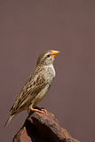 Breeding Female Red-Billed Quelea perched on rock Stock Photos