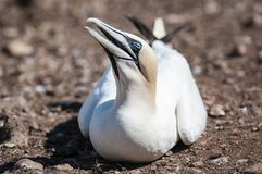 Close-up portrait of an adult northern gannet, morus bassanus during nesting season. stock photography