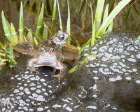 Breeding Frogs Stock Photo