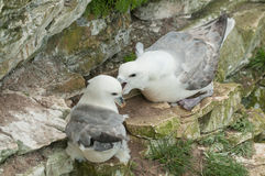 Breeding Fulmars Stock Photo