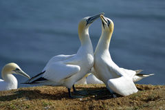Breeding Gannets in Helgoland Royalty Free Stock Images