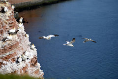 Breeding Gannets in Helgoland Royalty Free Stock Photo