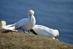 Breeding Gannets in Helgoland Royalty Free Stock Photos