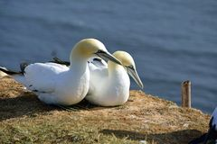 Breeding Gannets in Helgoland Royalty Free Stock Image