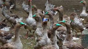Breeding geese on the farm stock footage