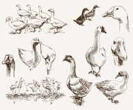 Breeding geese Stock Photo
