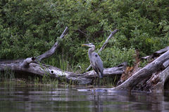 Breeding Great Blue Heron - Ardea herodias Stock Image