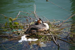 Breeding great crested grebe Stock Images